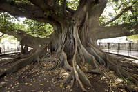 Huge ficus trees are everywhere in B.A.